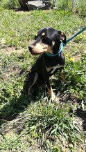 LOKI, Hund, Pinscher-Mix in Spanien - Bild 2