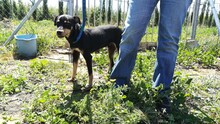 LOKI, Hund, Pinscher-Mix in Spanien - Bild 3