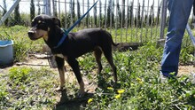 LOKI, Hund, Pinscher-Mix in Spanien - Bild 4