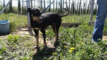 LOKI, Hund, Pinscher-Mix in Spanien - Bild 5