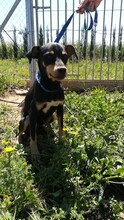 LOKI, Hund, Pinscher-Mix in Spanien - Bild 6