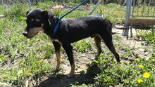 LOKI, Hund, Pinscher-Mix in Spanien - Bild 8