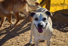 MERCHI, Hund, Labrador-Mix in Spanien - Bild 1