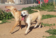 MERCHI, Hund, Labrador-Mix in Spanien - Bild 17
