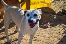 MERCHI, Hund, Labrador-Mix in Spanien - Bild 2
