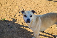 MERCHI, Hund, Labrador-Mix in Spanien - Bild 3