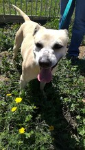 MERCHI, Hund, Labrador-Mix in Spanien - Bild 4