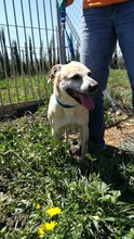 MERCHI, Hund, Labrador-Mix in Spanien - Bild 6
