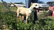 MERCHI, Hund, Labrador-Mix in Spanien - Bild 8