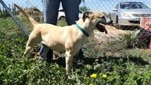 MERCHI, Hund, Labrador-Mix in Spanien - Bild 9
