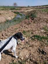 WALLE, Hund, Pointer in Spanien - Bild 11
