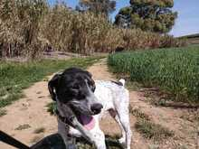 WALLE, Hund, Pointer in Spanien - Bild 6