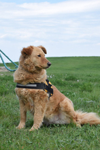 LENA, Hund, Kuvasz-Golden Retriever-Mix in Ungarn - Bild 3