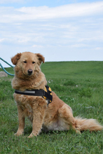 LENA, Hund, Kuvasz-Golden Retriever-Mix in Ungarn - Bild 6