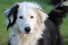 FINIAN, Hund, Collie-Border-Collie-Mix in Lohra-Reimershausen