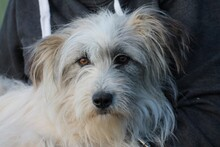 GARIA, Hund, Bearded-Collie-Mix in Lohra-Reimershausen