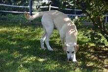 NORA, Hund, Labrador-Mix in Bad Salzuflen - Bild 3