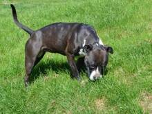 SHIVA, Hund, American Staffordshire Terrier-Pitbull-Mix in Hamburg - Bild 5