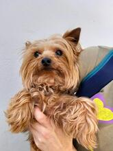 BALU, Hund, Yorkshire Terrier in Spanien