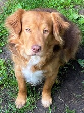 ERZAN, Hund, Golden Retriever-Mix in Nörten-Hardenberg - Bild 1