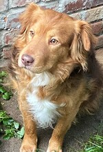 ERZAN, Hund, Golden Retriever-Mix in Nörten-Hardenberg - Bild 2