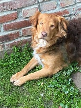ERZAN, Hund, Golden Retriever-Mix in Nörten-Hardenberg - Bild 3