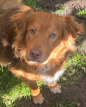 ERZAN, Hund, Golden Retriever-Mix in Nörten-Hardenberg - Bild 4