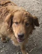 ERZAN, Hund, Golden Retriever-Mix in Nörten-Hardenberg - Bild 6