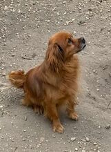BÜRÖK, Hund, Dackel-Cocker Spaniel-Mix in Ungarn - Bild 2