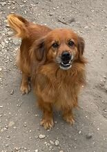 BÜRÖK, Hund, Dackel-Cocker Spaniel-Mix in Ungarn - Bild 3