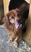BÜRÖK, Hund, Dackel-Cocker Spaniel-Mix in Ungarn - Bild 9