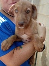 AXEL, Hund, Podenco-Mix in Spanien - Bild 1