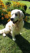 TAISON, Hund, Golden Retriever in Eimen - Bild 2