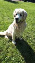 TAISON, Hund, Golden Retriever in Eimen - Bild 5