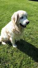 TAISON, Hund, Golden Retriever in Eimen - Bild 6