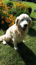 TAISON, Hund, Golden Retriever in Eimen - Bild 7