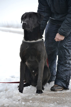 CIGANY, Hund, Labrador Retriever in Ungarn - Bild 1