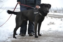 CIGANY, Hund, Labrador Retriever in Ungarn - Bild 2