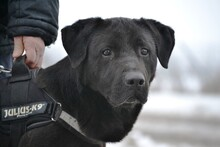 CIGANY, Hund, Labrador Retriever in Ungarn - Bild 3