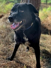 PACO, Hund, Labrador-Mix in Portugal - Bild 15