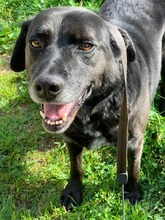PACO, Hund, Labrador-Mix in Portugal - Bild 3