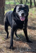 PACO, Hund, Labrador-Mix in Portugal - Bild 5