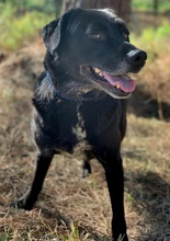PACO, Hund, Labrador-Mix in Portugal - Bild 7