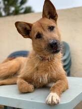 MARA, Hund, Podenco-Terrier-Mix in Spanien - Bild 1