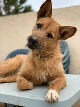 MARA, Hund, Podenco-Terrier-Mix in Spanien - Bild 5
