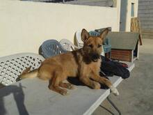MARA, Hund, Podenco-Terrier-Mix in Spanien - Bild 9