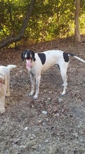 LOLITA, Hund, Pointer in Italien - Bild 2