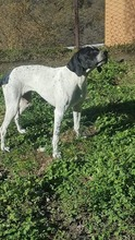LOLITA, Hund, Pointer in Italien - Bild 3
