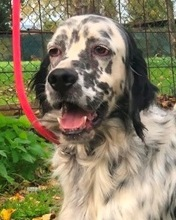 ELIOS, Hund, English Setter in Italien - Bild 1