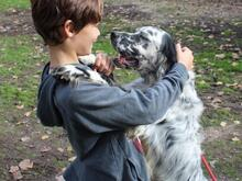 ELIOS, Hund, English Setter in Italien - Bild 2